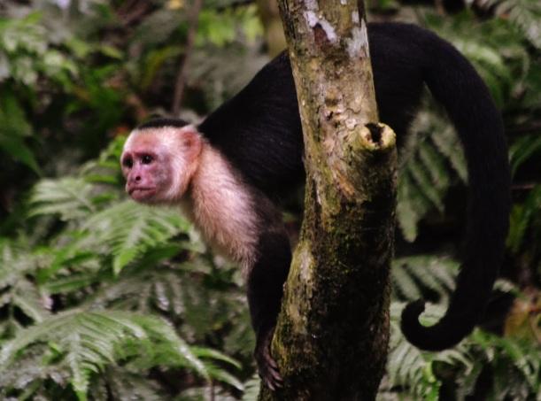 Bildergebnis für panamanian-Affen, die anfangen, Felsen zu benutzen, wie Werkzeuge