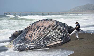toter Wal an Land in Kalifornien